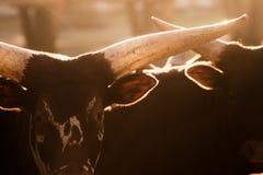 Taureau de Watusi - Taureau de bos Photographie stock libre de droits