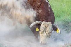 Taureau donnant un coup de pied la poussière aux mouches de combat Photographie stock