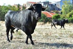 Taureau espagnol Photo libre de droits