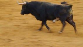 Taureau espagnol puissant, arène de corrida banque de vidéos