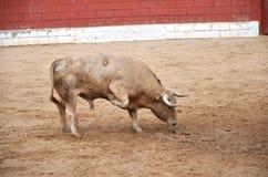 Taureau espagnol sur un bullring Image stock