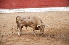 Taureau espagnol sur un bullring Photo libre de droits