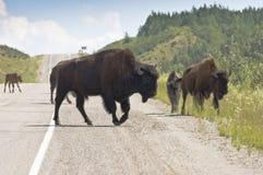 Taureau et veau de bison Photographie stock libre de droits