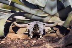 Taureau fossile oublié par tous Image libre de droits
