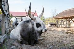 Taureau gris hongrois de bétail avec la vache et le veau, Hongrie Images stock