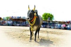 Taureau indien du sud de village photographie stock libre de droits