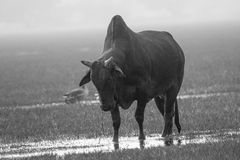 Taureau noir agressif Images stock