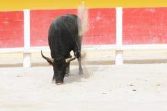 Taureau noir pawing vers le haut de la poussière dans un bullring Photo libre de droits