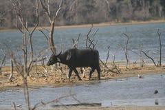 Taureau sauvage Dans la jungle photographie stock libre de droits