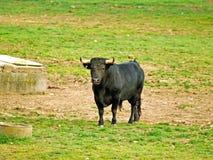 Taureau sur la campagne à Salamanque, Espagne images stock