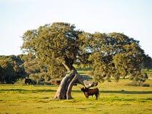 Taureau sur la campagne à Salamanque, Espagne photos stock