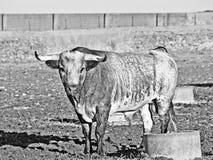 Taureau sur la campagne Salamanque, Espagne en noir et blanc photo libre de droits
