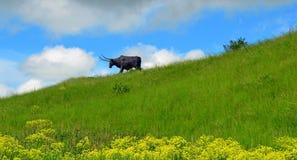 Taureau sur un paysage de colline Image libre de droits