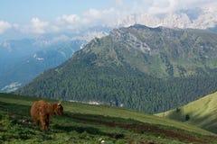 Taureau sur une pente de montagne, Plattkofelhutte, dolomites italiennes Image stock