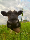 Taureau-veau de sourire Photographie stock libre de droits