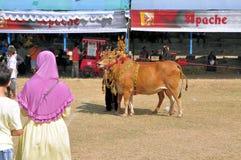 Taureaux décorés à la course de Madura Taureau, Indonésie Images stock