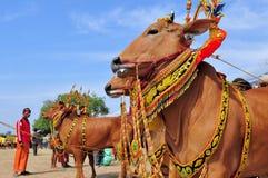 Taureaux décorés à la course de Madura Taureau, Indonésie Images libres de droits