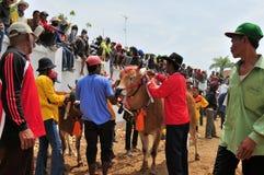 Taureaux décorés à la course de Madura Taureau, Indonésie Photographie stock libre de droits