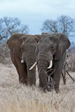 Taureaux d'éléphant Image libre de droits