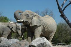 Taureaux d'éléphant africain Photo libre de droits