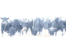 Taureaux dans la tempête de neige Image libre de droits