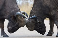 Taureaux de Buffalo de cap Photographie stock libre de droits
