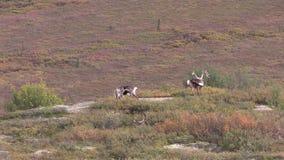 Taureaux de caribou de terre stérile banque de vidéos