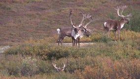 Taureaux de caribou de terre stérile en velours banque de vidéos