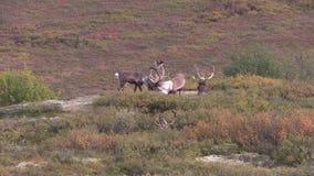 Taureaux de caribou en velours banque de vidéos
