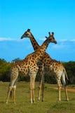 Taureaux de giraffe photographie stock libre de droits