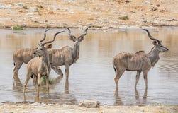 Taureaux de Kudu images libres de droits