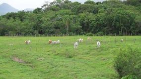 Taureaux mangeant l'herbe au paysage vert de champ banque de vidéos