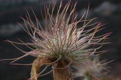 Taurica do Pulsatilla Grupo de pasqueflowers no close up crimeano das montanhas Imagem de Stock Royalty Free