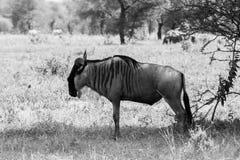 Taurinus bleu noir et blanc de Connochaetes de gnou dans la plaine Image libre de droits