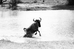 Taurinus Connochaetes антилопы гну B&W голубое бежать в воде Стоковые Изображения RF