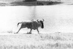 Taurinus Connochaetes антилопы гну B&W голубое бежать в воде Стоковое Изображение RF