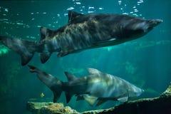 Tauro del Carcharias del tiburón de tigre de arena Fotografía de archivo libre de regalías