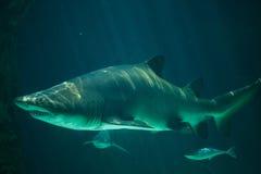 Tauro del Carcharias del tiburón de tigre de arena Fotografía de archivo