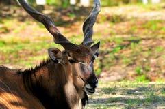 Taurotragus derbianus, giant eland Royalty Free Stock Photos