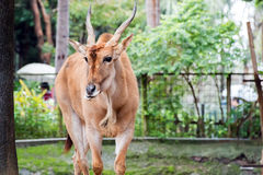 Taurotragus oryx (ταυρότραγος) Στοκ εικόνα με δικαίωμα ελεύθερης χρήσης