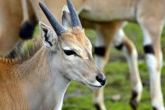 Taurotragus oryx Stock Afbeeldingen