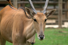 Taurotragus oryx antelope. Stock Photo
