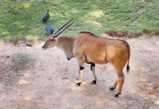 Taurotragus oryx Stock Photos