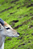 Taurotragus oryx Royalty Free Stock Photos