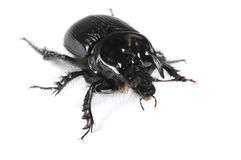 Taurus beetle Stock Photos