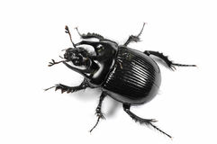 Taurus beetle isolated on white Royalty Free Stock Image