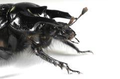 Taurus beetle portrait Stock Image