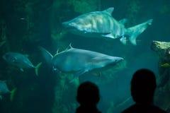 Taurus do Carcharias do tubarão de tigre da areia Fotografia de Stock