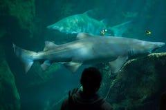 Taurus do Carcharias do tubarão de tigre da areia Foto de Stock