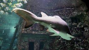 Taurus do Carcharias do tubarão de tigre da areia e peixes pequenos no aquário video estoque